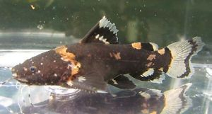 Black Bumblebee Catfish Live Freshwater Aquarium Fish