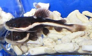 "Red Tail Catfish 3"" Live Freshwater Aquarium Fish"