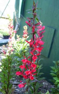 Cardinal Flower Lobelia Red Flowers Attractive to Hummingbirds 1 Plant